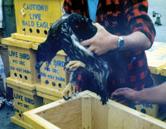 A young bald eagle held above a wooden crate