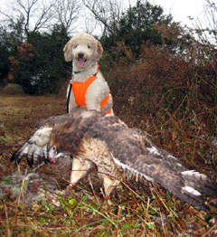 Standard poodle standing behind a red-tailed hawk