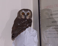 A saw-whet owl perched in the corner of a room