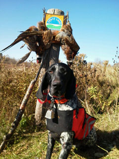A dog with back pack stands by a dead pheasant