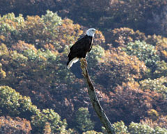 A bald eagle perched on a snag