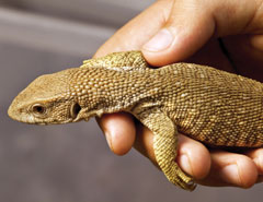 A hand holding a young monitor lizard