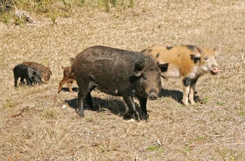A dark brown, furry feral swine