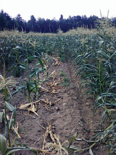 Cornfield damaged by feral swine