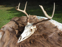 A cleaned buck skull sits on a tanned deer hide
