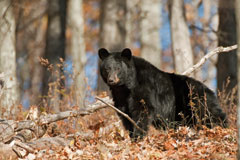 A black bear standing in dead leaves in the woods