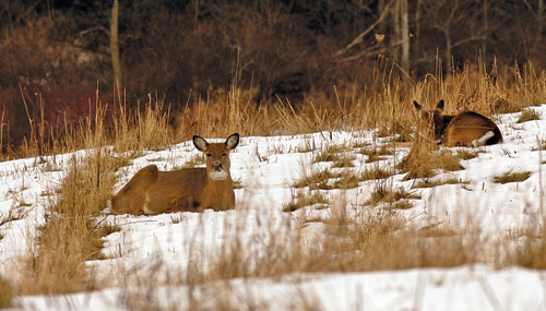 Two deer sitting in the snow at the edge of a field