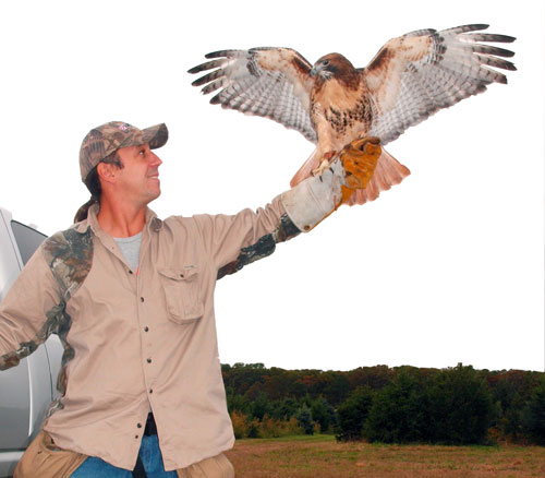 A falconer with a red-tailed hawk, wings out-stretched on his gloved hand