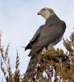 A goshawk searches for prey while perched on top of an evergreen tree