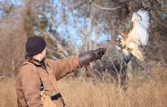 A red-tailed hawk about to land on a falconer's arm and glove
