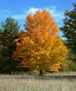 A sugar maple in full orange and yellow fall color