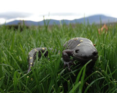 A spotted salamander in the grass with the Catskill Mountains in the distance