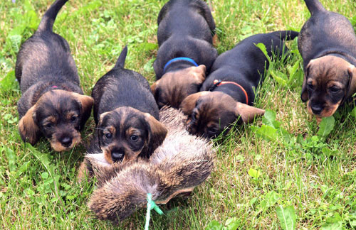 Five wirehaired dachsund puppies grab and follow a piece of deer hide pulled by a cord