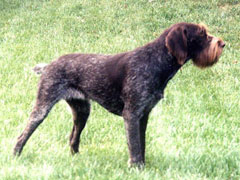 A German wirehaired pointer standing in the grass.