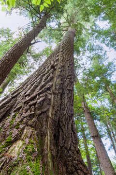 Looking up the trunk towards the canopy of a very tall white pine