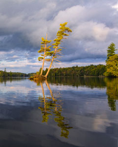Two old leaning pines at the edge of a lake
