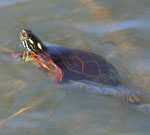 A painted turtle sitting on a branch that is just below the water's surface