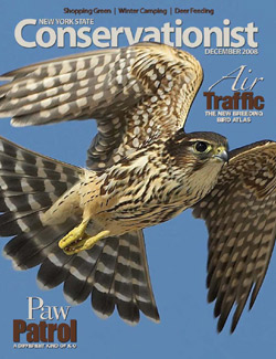 The cover of the December 2008 Conservationist showing a merlin in flight