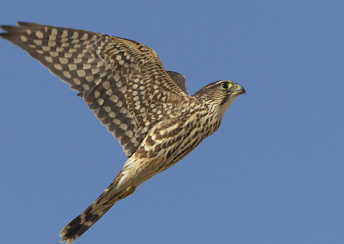 A photo of a merlin in flight