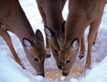 Deer eating corn in the snow
