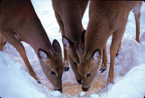 Deer feeding on corn left in the snow