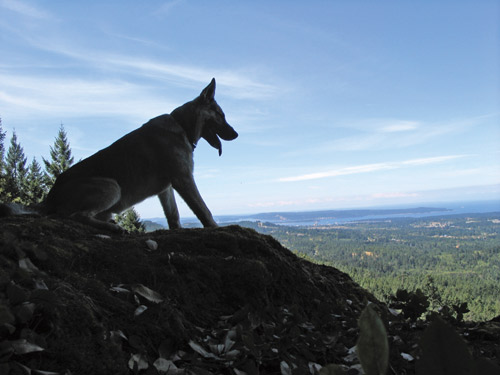 A german shepherd from the K-9 unit looks over the forest from a mountain ledge