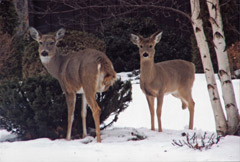 Two 3-legged deer standing in the snow