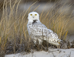 A snowy owl standing in beach grass