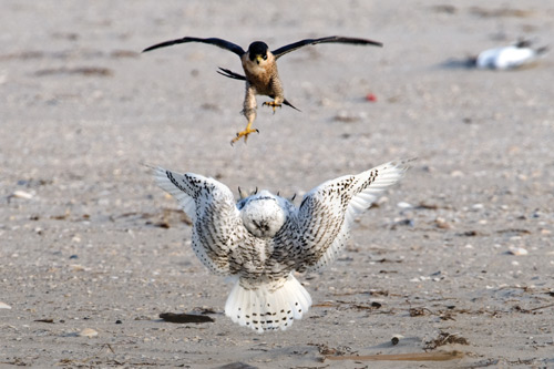A Peregrine falcon attacks a Snowy owl on the beach