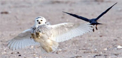 A snowy owl dodges a peregrine falcon's attack