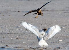 Peregrine falcon attacking a snowy owl