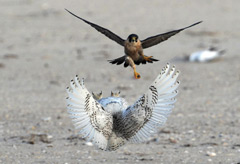 The owl defends itself from the peregrine falcon by flipping onto its back while in the air to present its talons