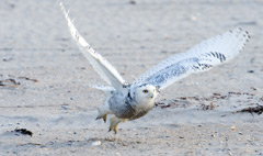 A snowy owl taking off from the beach