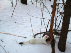Ermine attacking squirrel in the snow