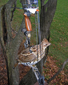 A ruffed grouse perched on a deer hunter's bow