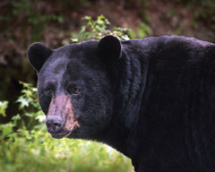 The head of a black bear