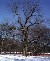 A large deciduous tree in winter