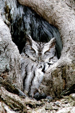 This screech owl resting inside a tree cavity is well camouflaged