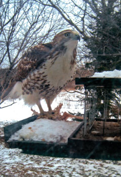 A red-tailed hawk at a bird feeder