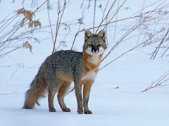 A gray fox with unusual coloring standing in the snow