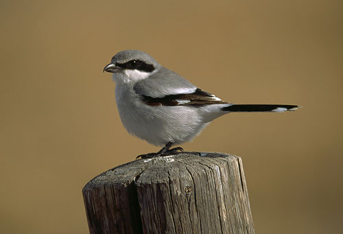 A loggerhead shrike perched on a fence post