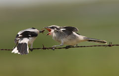 An adult shrike feeds an insect to its young