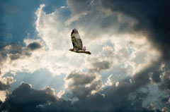 A red-tailed hawk flying against a dramatic partly cloudy sky
