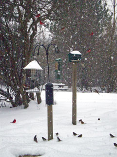 Cardinals and other birds at two bird feeders in winter