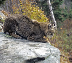 Side view of a bobcat sitting on a rock