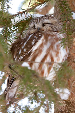 A saw-whet owl asleep in a tree.