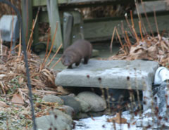 A mink walking in a backyard
