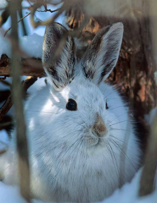 snowshoe hare blending in with the winter background