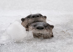 The heads of two river otters peeking out of a hole in the ice