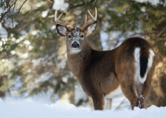 A six point buck standing in the snow in the forest
